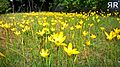 Yellow flower garden.jpg