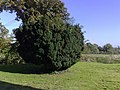 Yew tree - geograph.org.uk - 1003130.jpg