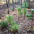 Young Pinus palustris Alabama.jpg