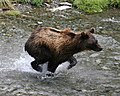 Young grizzly chases a salmon in Alaska (1750400005).jpg