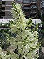 Yucca flaccida inflorescence.jpg