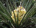 Yucca schidigera (26812032280).jpg