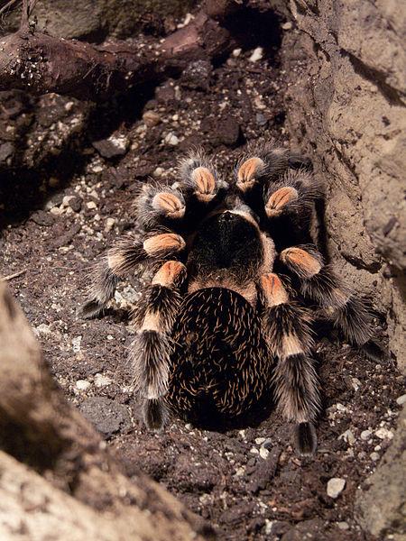 Chov veľkých pavúkov (tarantúl) je čoraz populárnejší