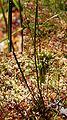 ZPK Scheuchzeria palustris pokrój i łodyga 04.07.10 p.jpg
