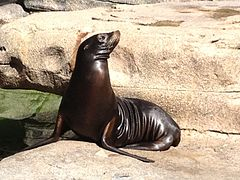 Zalophus Californianus Cincinnati zoo.JPG