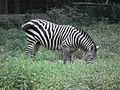 Zebra from Bannerghatta National Park 8700.JPG