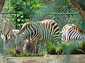 Zebras001.jpg