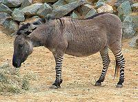 http://upload.wikimedia.org/wikipedia/commons/thumb/6/67/Zeedonk_800.jpg/200px-Zeedonk_800.jpg