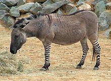 A Zonkey Zebra Donkey Hybrid