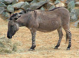Zebroid - A zebra-donkey hybrid