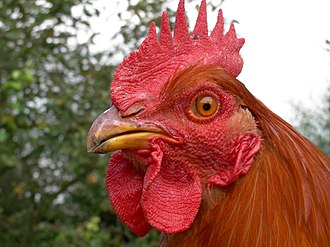 Comb (anatomy) - Brown rooster