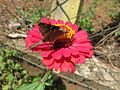 Zinnia and butterfly 2.jpeg