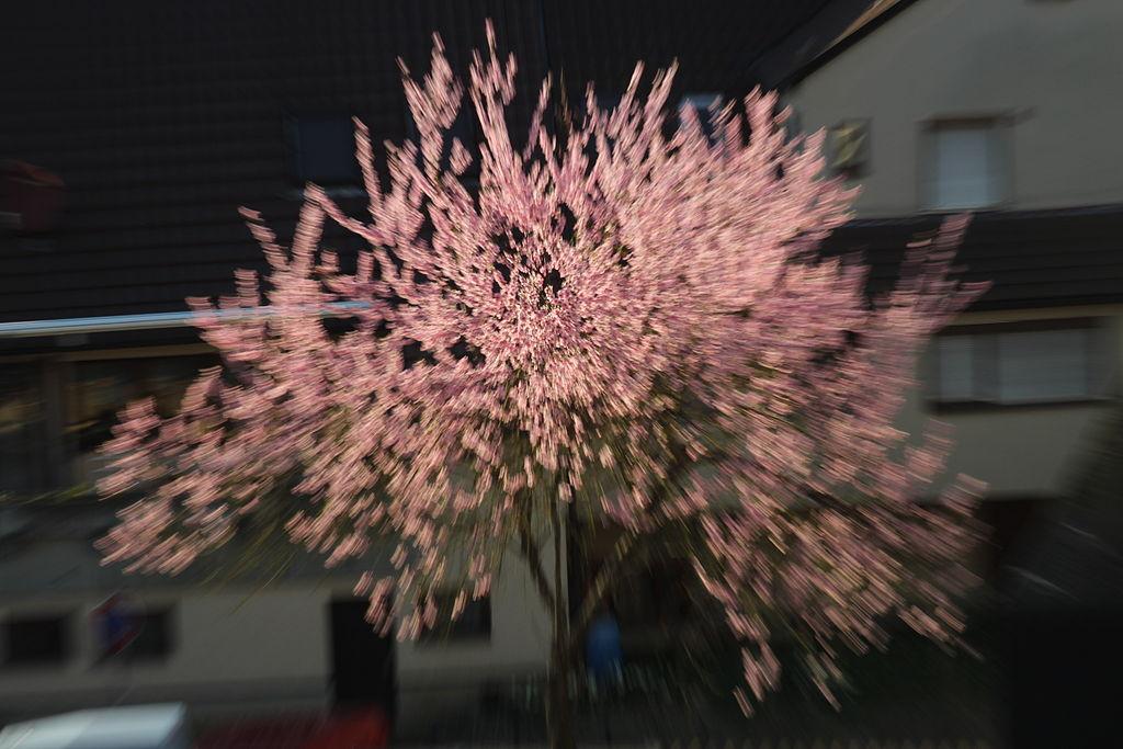 Ein Baum mit rosa Blüten im Frühling.