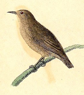 Kosrae white-eye Species of bird