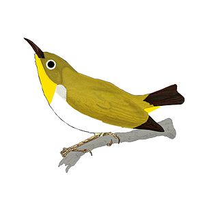 Pale-bellied white-eye