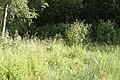 Zuidelijke Glazenmakers ♂ 13-7-2018 Bospolder Ekeren (3).jpg