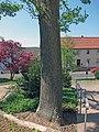 Zwei Dorflinden in Langendorf.jpg