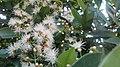 """+arya+"" Syzygium myrtifolium - daun pucuk merah - 2020 1.jpg"