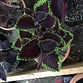 'Giant Exhibition Magma' coleus IMG 1380.jpg