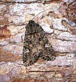 (2154) Cabbage Moth (Mamestra brassicae) (34640330446).jpg