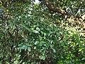 ¿ Litsea species ? (15396072901).jpg