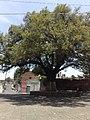 Árbol del Barrio de Xonaca, Puebla.jpg