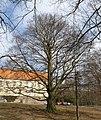 Červený buk v zámecké zahradě, Lomnice.JPG