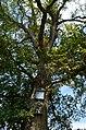 Šukioniai, abrozdėlių medis.JPG