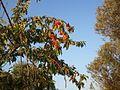 Κεράσια - panoramio.jpg