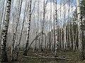 Весна в березовой роще - panoramio.jpg