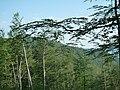 В гората над кв.Острец-Априлци - panoramio.jpg