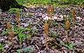 Гніздівка звичайна (Neottia nidus-avis).jpg