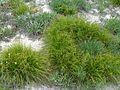 Крейдяні відслонення Carex humilis.jpg