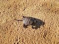Маленька черепашка в пустелі. Олешківські піски.jpg