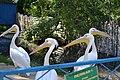 Менський зоопарк - Пелікан6.jpg