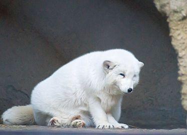 Песец в зимней шубке в Московском зоопарке
