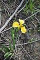 Півники (Iris sp.) у Нижньодністровському НПП.jpg