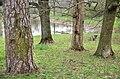 Сосна-ясен-явір-дуб-в-парку-Мала-Софіївка.jpg