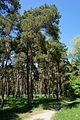 Сосновий парк Лохвиця 9.jpg
