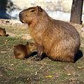 Сapybara Moscow zoo.jpg