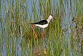 Ходулочник - Himantopus himantopus - Black-winged stilt (Common stilt, Pied stilt) - Кокилобегач - Stelzenläufer (33290762864).jpg