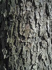 Jelša lepkavá (lat. Alnus glutinosa) - kôra