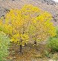 درختان پاییزی دره گردوی اراک - panoramio.jpg