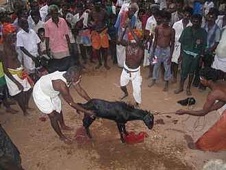 Animal sacrifice in Hinduism - A goat being sacrificed in a Temple festival in Tamil Nadu.
