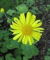 大豹毒 Doronicum pardalianches -維也納大學植物園 Vienna University Botanical Garden- (28646000315).jpg
