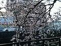 天神川の桜 - panoramio (2).jpg