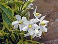 斑葉素馨葉白英 (斑葉白馬鈴薯藤) Solanum jasminoides v album variegatum -香港大埔海濱公園 Taipo Waterfront Park, Hong Kong- (9229878062).jpg
