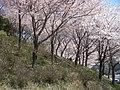 桜(慈生園) - panoramio.jpg
