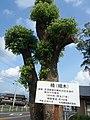 湯前の楠 Yunomae Memorial Camphor tree - panoramio.jpg