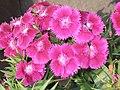 石竹 Dianthus chinensis -香港花展 Hong Kong Flower Show- (9193430228).jpg